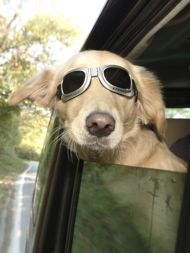 cute dog wearing glasses riding in car